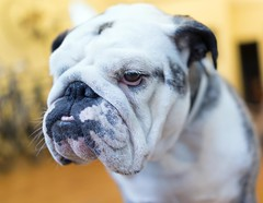 dog breed(1.0), animal(1.0), dog(1.0), old english bulldog(1.0), british bulldogs(1.0), olde english bulldogge(1.0), australian bulldog(1.0), toy bulldog(1.0), american bulldog(1.0), carnivoran(1.0), bulldog(1.0),