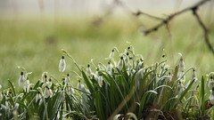 perce-neige / snowdrops - Photo of Gouy-en-Ternois