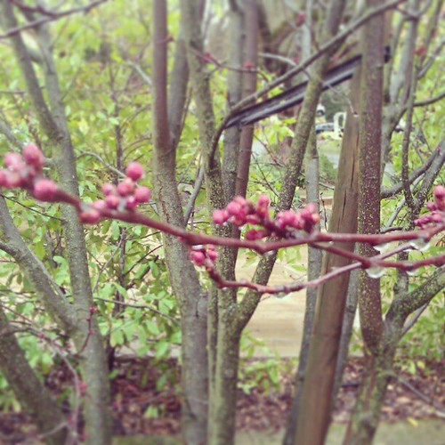 Signs: Plum buds
