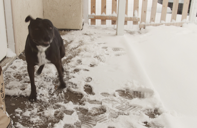 mila-pit-bull-playing-running-snow