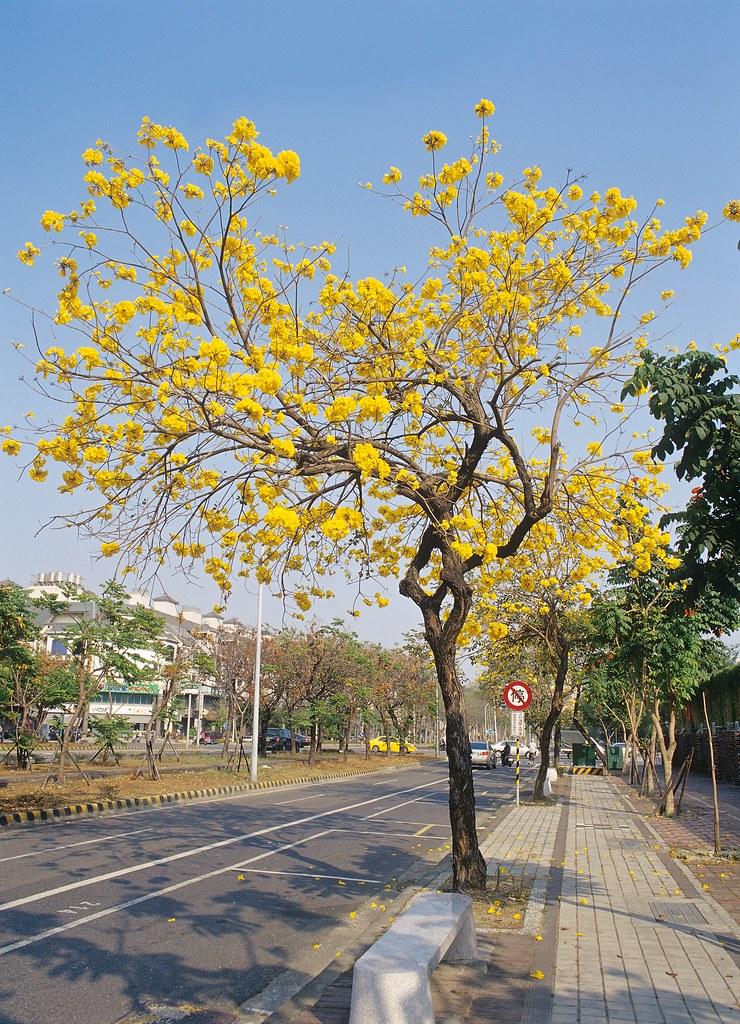 台南 黃花風鈴木 Pantax645N