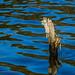 Stump In Water - Powhatan Wildlife Management Area, VA