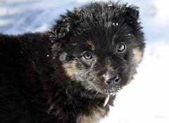 lapponian herder(0.0), german spitz(0.0), keeshond(0.0), dog breed(1.0), animal(1.0), puppy(1.0), dog(1.0), finnish lapphund(1.0), eurasier(1.0), mammal(1.0), close-up(1.0), mudi(1.0),