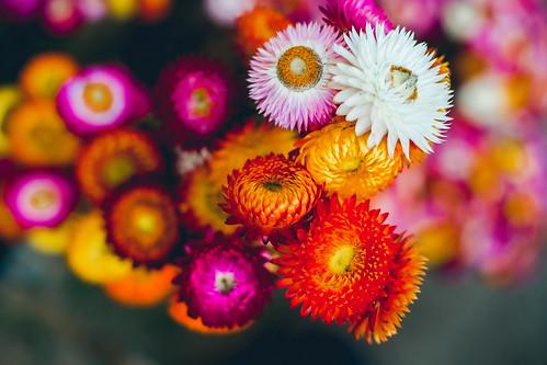 Everlasting Flowers (Helichrysum bracteatum cv. monstrosum)