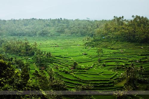 Coffee Plantation, Bali, Indonesia
