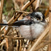 Small photo of Long Tailed Tit (Aegithalos caudatus)
