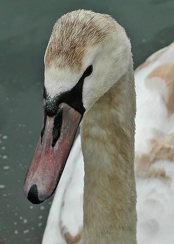 Swan 3 by birbee