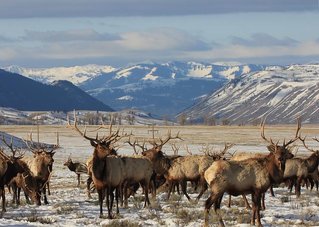 Un grupo de uapitíes, todos ellos con sus cuernos intactos. USFWS Mountain Prairie.