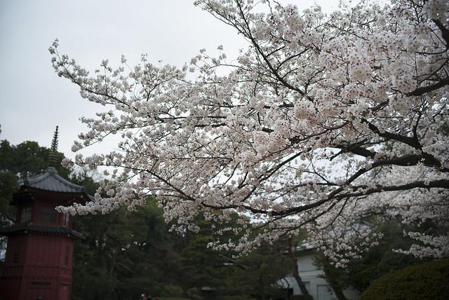 哲学堂公園の桜3