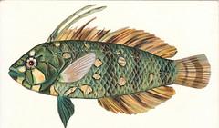 29. Novachulichthys