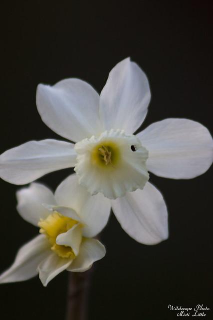 daffodil9