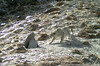 A carefully camouflaged snow leopard in Khunjerab National Park, Pakistan