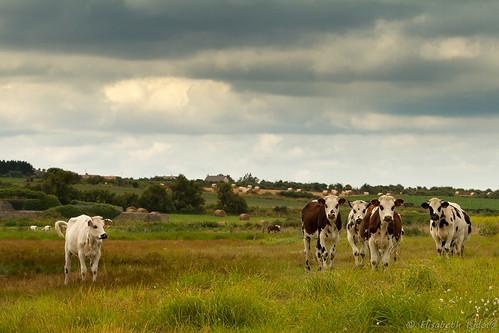La Normandie et ses vaches