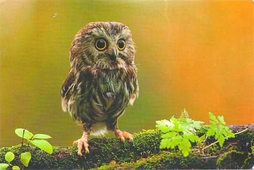 Adorable Owl Postcard