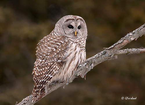 Barred Owl On Diagonal