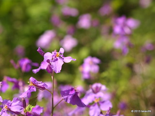 Chinese violet cress