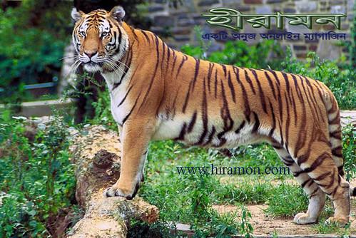 রয়েল বেঙ্গল টাইগার(Panthera_tigris_tigris)