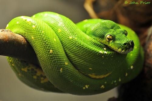 Green Tree Python Snake by John Prior 55