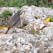 Black Redstart: St Vincent, Algarve by Peter J. Ham