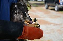 Bald Eagle #13-0174 Release