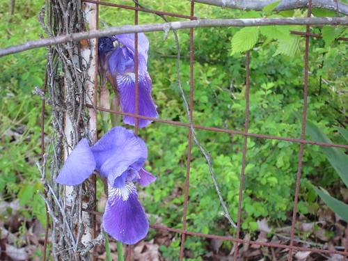 butterworth iris