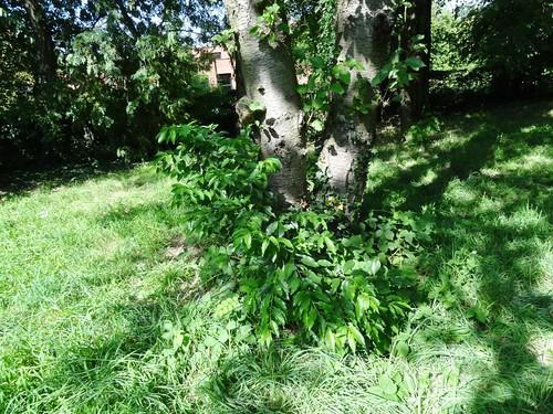 Garten Alma de l'Aigle Traubenkirsche