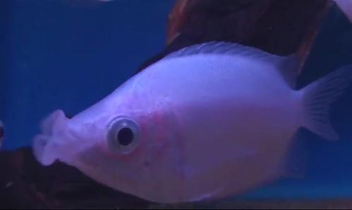 Fish zone kissing gourami for Kissing gourami fish