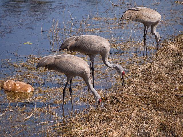 Sandhill Cranes and Plastic Baggie