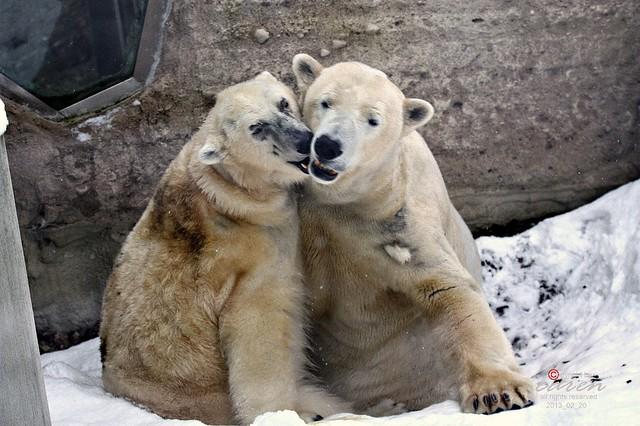 Eisbären Giovanna&Yoghi 2013_02_20 389
