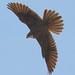 Prairie Falcon by Eddy Matuod