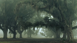 Ancient Oaks in Fog
