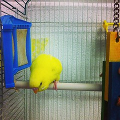 atlantic canary, animal, canary, yellow, cage, pet, blue, bird,