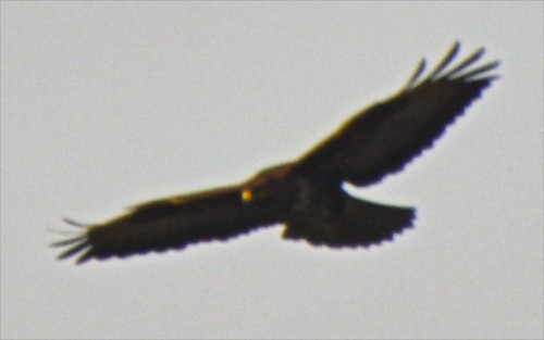 the buzzard that was showing off