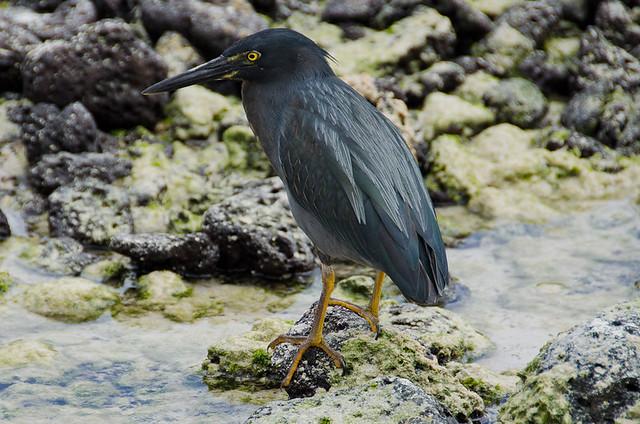 Galapagos Birds: Lava Heron