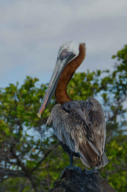 Galapagos Birds: Brown Pelican