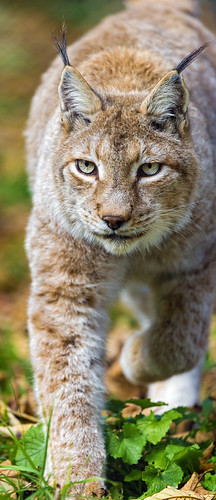 Lynx walking towards me by Tambako the Jaguar