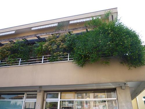 Urge consiglio potatura Gelsomino di San Giuseppe -