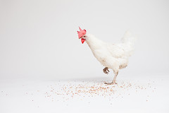 White Chicken on Grey Background 4