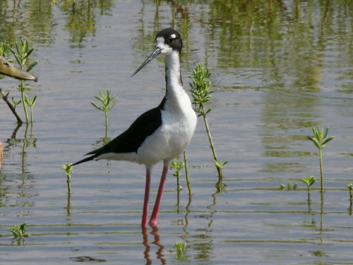 Ae'o (Hawaiian Stilt) Photo by Dick Daniels/Wikimedia Commons