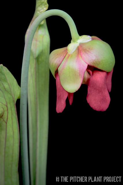 "Sarracenia 'Reptilian Rose' x leucophylla ""pale"" - clone 1"