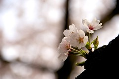 [Free Images] Flowers / Plants, Cherry Blossoms ID:201303290600