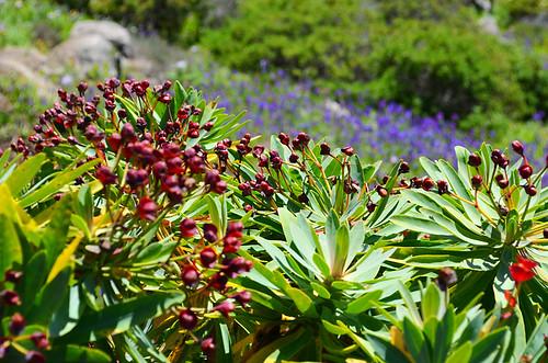 Euphorbia, spurge, tabaiba