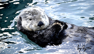 Sea Otter | by Greg Dejasco