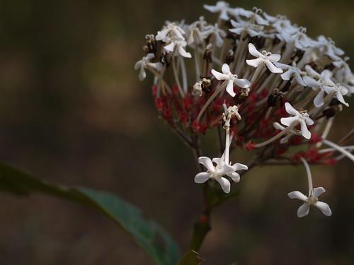 Ixora polyantha Wight