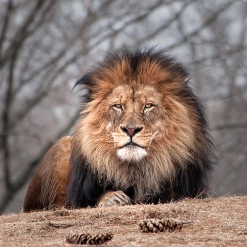 [フリー画像素材] 動物 (哺乳類), ライオン ID:201304011000