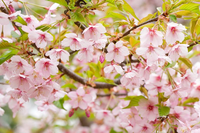 Sakura in Kyoto 24