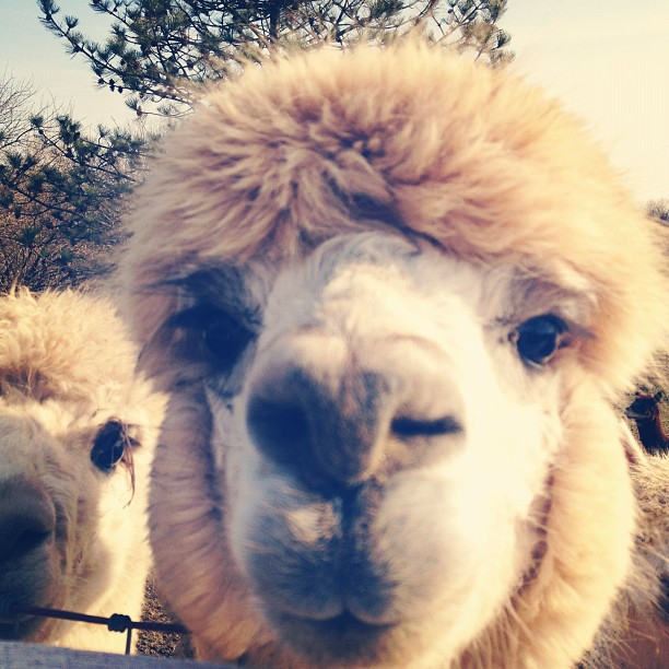 Day90 Alpacas in Ohio 3.30.13 #jessie365 #alpacas