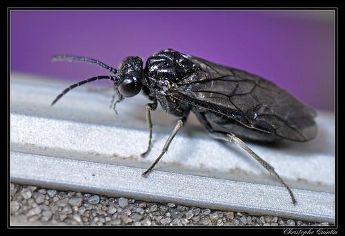 Tenthredinidae/Blennocampinae (Monophadnus pallescens ?)