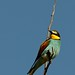 European Bee-eater by Sumarie Slabber