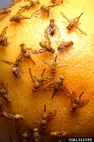 Mexican fruit flies on citrus fruit: Jack Dykinga, USDA Agricultural Research Service, Bugwood.org